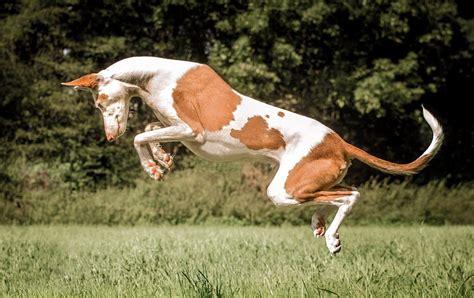 Ibizan Hound P Os Pictures Dog Breed Atlas