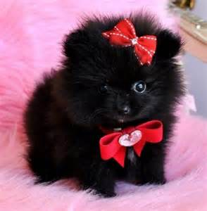 Black Teacup Pomeranian