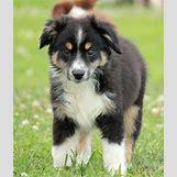 White German Shepherd Lab Mix Puppies   1358 x 1600 jpeg 324kB