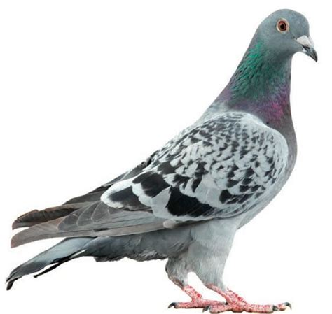 The 25+ Best Pigeon Ideas On Pinterest  White Pigeon