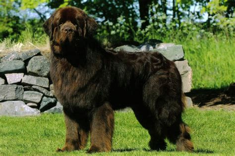 Do Newfoundlands Shed More Than Labs Newfoundland Puppies For Sale From Reputable Breeders