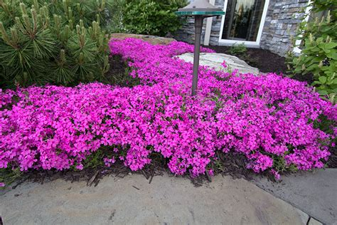 creeping flowers creeping phlox ground cover car interior design