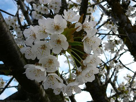 tree with white flower white tree flower blossoms by enchantedgal stock on deviantart
