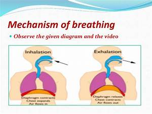 The Human Respiratory System Ppt 1pptx