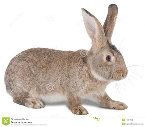 rabbit farm animal royalty  stock photo image