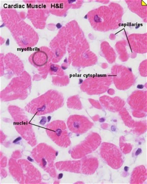 Capillaries of peripheral tissues