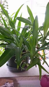 Houseplants Forum  Spider Plant Q  U0026 A Plus Pictures