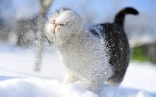 snow cats snow cats wallpaper 1920x1200 wallpoper 389409