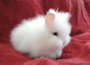 Baby Lionhead Bunnies for Sale