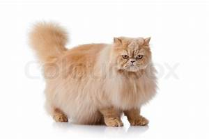 Persian cat isolated on white Persian cat portrait | Stock ...