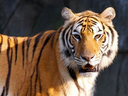 Tiger Wallpapers Resolutions Normal