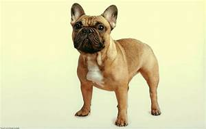 French Bulldog HD Wallpapers In High Resolution - All HD ...