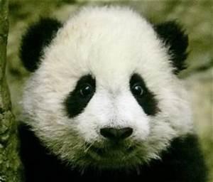 Panda Bear Cubs | panda cub | Panda Bears;) | Pinterest