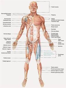 The Muscular System | Just4results