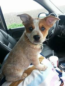Red Heeler Mix Puppies