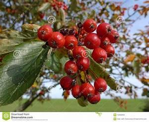 Baum Mit Roten Beeren : rote beeren stockbild bild von himmel sommer trocken 12258459 ~ Markanthonyermac.com Haus und Dekorationen