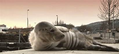 Seal Crying Sweden Lost Found Swedish Animal