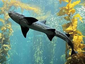 Leopard shark, Kelp Forest, Fishes, Triakis semifasciata ...