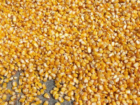 corn seeds cereals corn seeds cereals