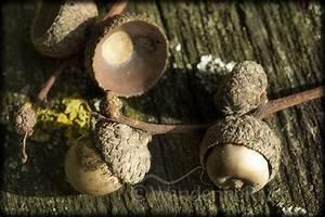 The Oak Essen : fruit of the oak by steven stoddart on 500px fruit coconut ~ Watch28wear.com Haus und Dekorationen