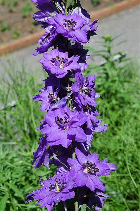 magic fountains dark blue dark bee larkspur delphinium magic fountains dark blue dark bee