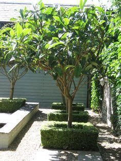 eriobotrya japonica loquat tree architectural plants
