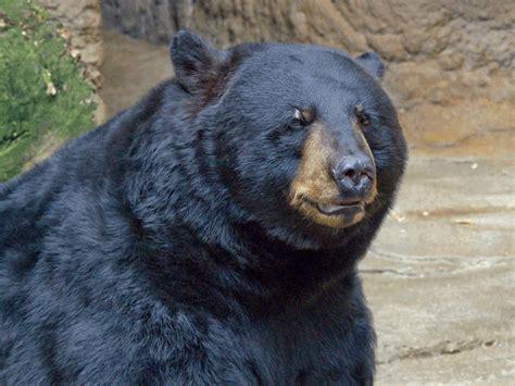 Florida Man Shoots 500pound Black Bear Inside Home