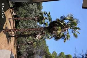 Trachycarpus Fortunei Auspflanzen : rabac wir kommen wieder teil 2 bilderfolge kroatien ~ Eleganceandgraceweddings.com Haus und Dekorationen