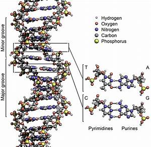 Adenine    Thymine    Cytosine    Guanine    Base Pairs    They