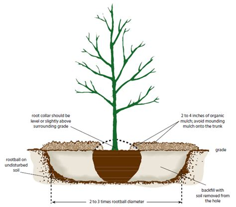 how to plant a tree how to plant an apple tree quarto homes