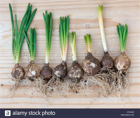 hyacinthoides non scripta sprouting bluebell bulbs on
