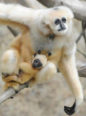 gibbon wildlife  wildlife