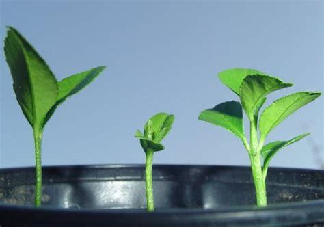 citruspflanzen aus kernen selber ziehen jks pflanzenblog