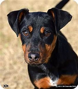 Patterson, CA - Dachshund/Miniature Pinscher Mix. Meet Kit ...