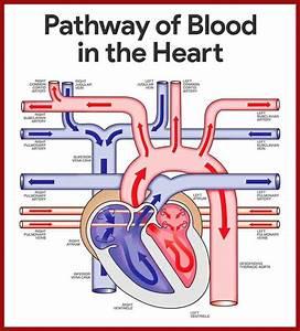 Cardiovascular System Anatomy And Physiology