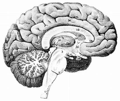 Brain Human Wikimedia Domain Mesial Facing Commons
