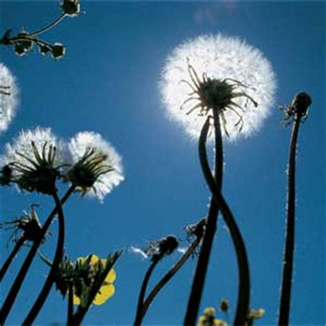how to get rid of dandelions how to get rid of weeds lawn care yard garden this