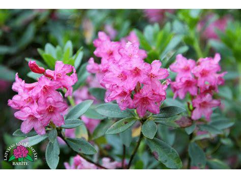 Latvijas stādi - Rhododendron hirsutum - asmatainais ...