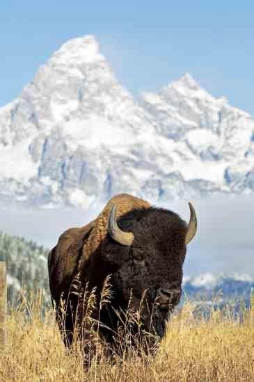 bison meat  great taste   health natural
