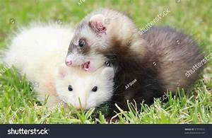 Baby Ferrets Playing On Grass Stock Photo 37379512 ...