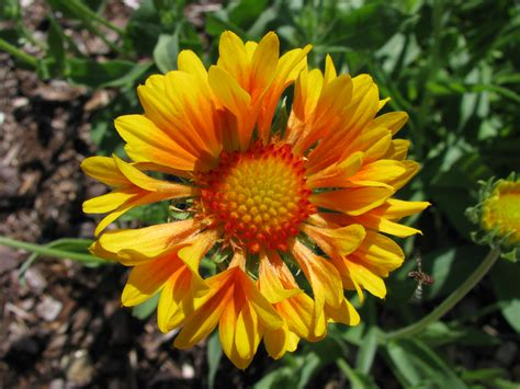 Gaillardia ~ Blanket Flower Plant Care Guide And Varieties