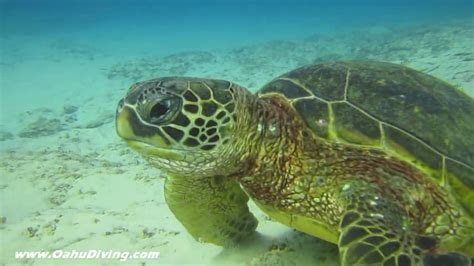 Hawaiian Green Sea Turtle Eats A
