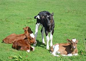 Cows Archives
