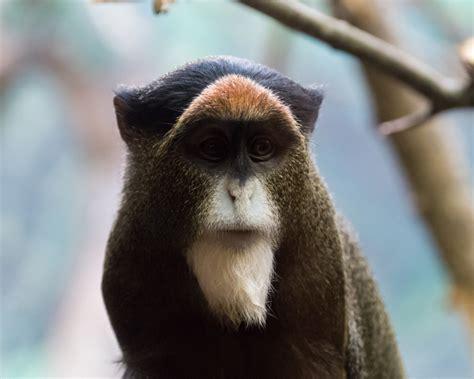 de brazzas monkey facts diet habitat pictures