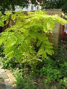 Pflanze Mit Stacheln : gold akazie robinia pseudoacacia 39 frisia 39 baumschule horstmann ~ Frokenaadalensverden.com Haus und Dekorationen