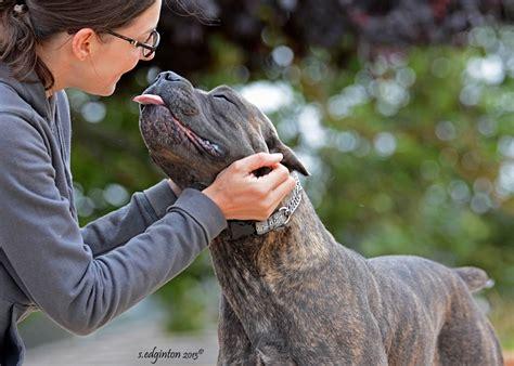 100 cane corso puppy shedding cane corso dog breed