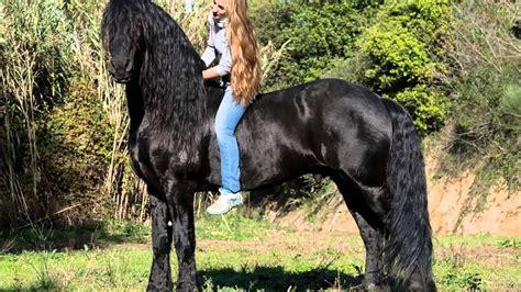 caballo frison youtube