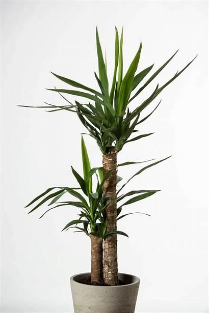 Juka Plants Indoor Yucca Tree Jukka Medianauka