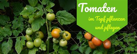 tomaten im topf ᐅ tomaten im topf pflanzen und pflegen 2019