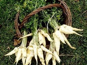 Semis De Persil : persil tub reux semer et r colter ooreka ~ Dallasstarsshop.com Idées de Décoration